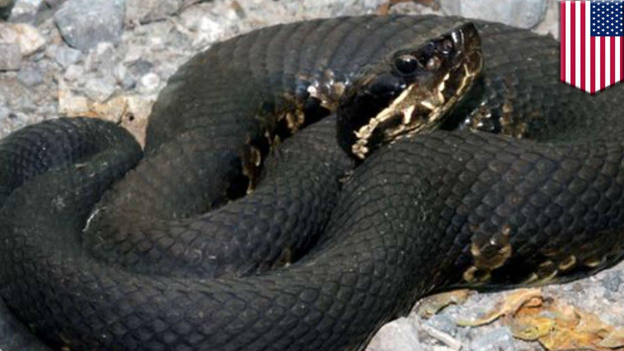 Мужчина умер от укуса змеи, отказавшись ехать в больницу