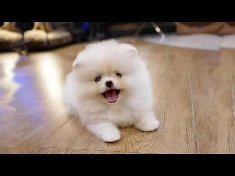 Cute and Funny Pomeranian Dogs Video Compilation
