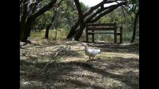 domestic duck in Braeside Park