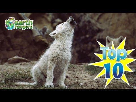 Top Ten Cutest Wolf Pups