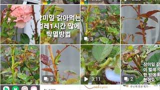 장미 벌레 1시간만에 박멸 방법/장미벌레 퇴치방법