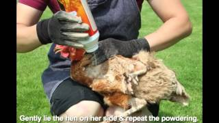 HOW TO TREAT LICE & MITES IN POULTRY