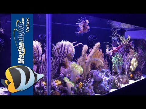 Marine Depot Featured Tank: Felicia's 40 Gallon Mixed Reef Predator Tank