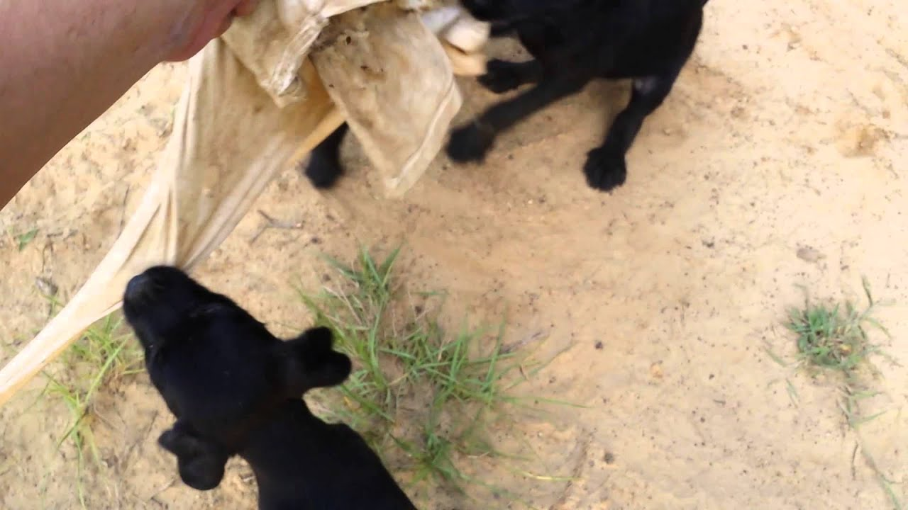 Jagdterrier x pitbull/drahthaar cross 7 weeks - YouTube
