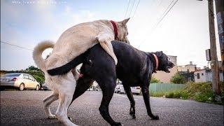 【生物觀察】狗界斷背山,誰也不給誰肛