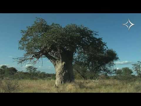 Baobabs of Venitia Limpopo Nature Reserve