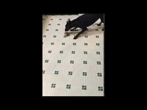 Milla the Manchester Terrier vs. A Bone