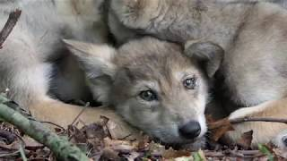 Rare Wolf Pups: Endangered. Essential. Extremely Cute.