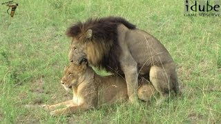 WILDlife: Lion Mating Rituals Witnessed In South Africa