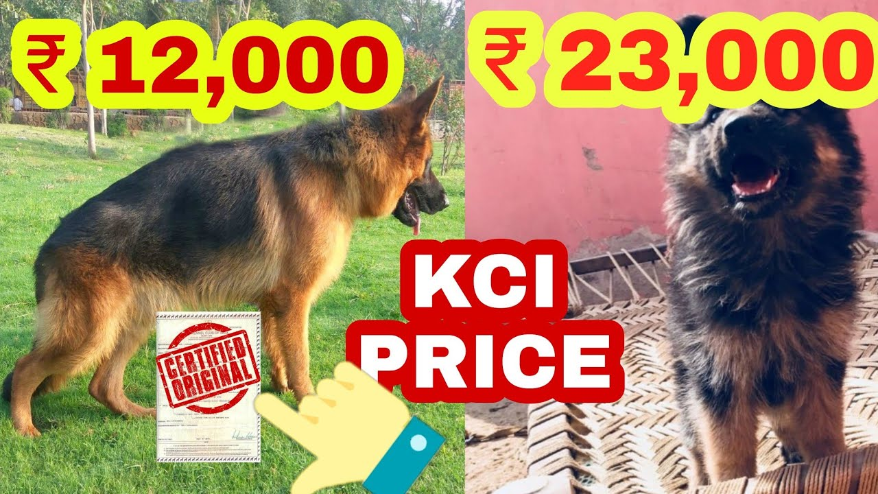 German Shepherd Price Difference Youtube