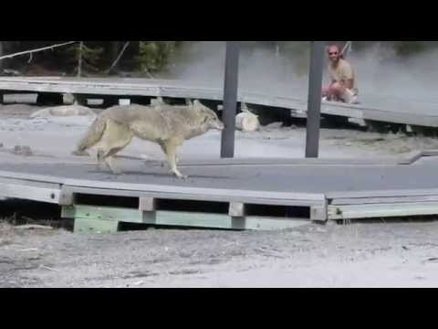 Coyote on boardwalk in Yellowstone National Park.