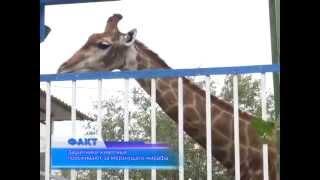 Защитники животных переживают за жирафа, который находится в загоне под открытым небом