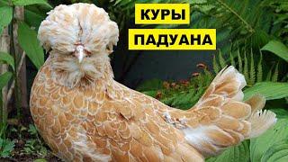 Разведение породы кур Падуана как бизнес идея | Птицеводство | Куры Падуаны
