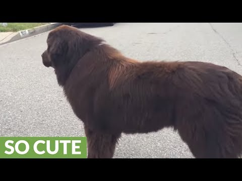 Newfoundland gives good luck kisses before big game
