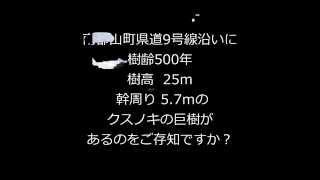 【きんぎょチャンネル】大職冠クスノキ(大和郡山市南郡山町)