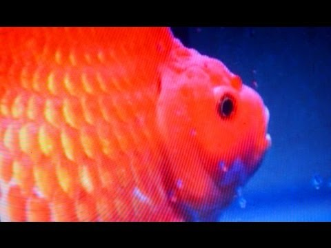 Wanted: The World Goldfish Queen