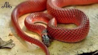 80 साल के बाद दिखा दुर्लभ प्रजाति का रहस्यमयी लाल मूंगा सांप.After 80 years the mystrious snake show