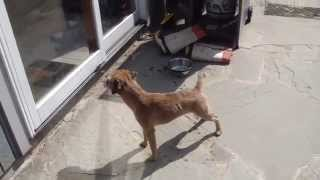 Border Terrier Newly Stripped