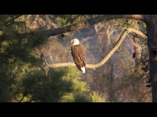 Eagles in The Woodlands