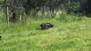 Jagd terrier au ferme sur cochon