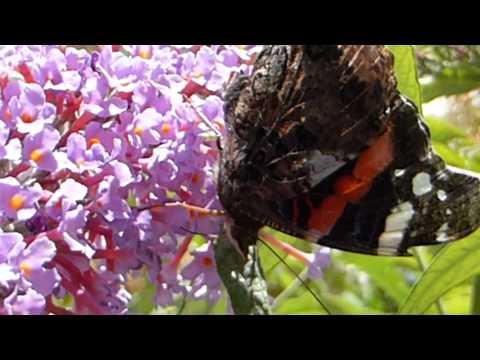 Red Admiral Butterfly - Aðmirálsfiðrildi - Fiðrildi - Skordýr - Fiðrildarunni