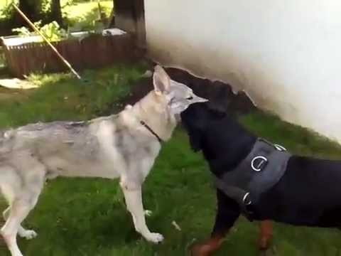 Rottweiler Vs Wolf You