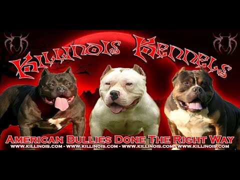 OUR AMERICAN BULLY STUD LINE UP @ KILLINOIS KENNELS