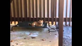 Shiba Inu Dog Training