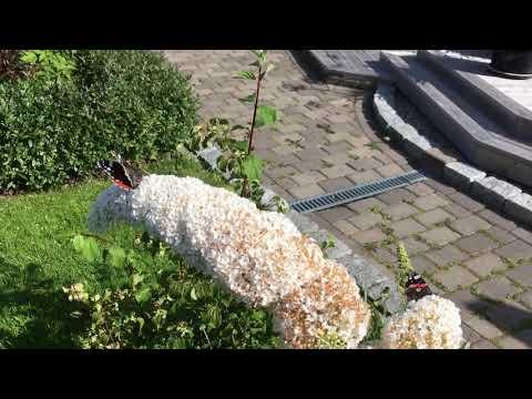 Sommerfuglbusk - Buddleja