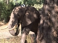 【感動】密猟者に銃で撃たれた象、それでも人間に助けを求めにやってきた