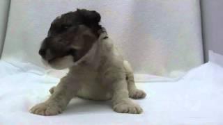 かわいいワイヤーフォックステリアの子犬が誕生しました! ブリーダー直...