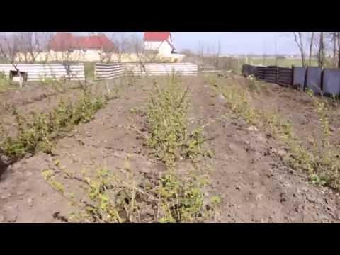 Малина – полезные свойства, выращивание и уход за малиной