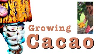 Growing Theobroma Cacao Trees - Dwarfing to harvest the plants Cocoa chocolate Beans in Australia