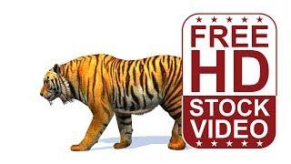 Stok Videolar – hayvan animasyonları tiger beyaz bg üzerinde gölgeler ile yürürken döngü sorunsuz