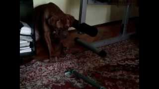 Simba Dogue De Bordeaux - Vacuum Fight.mp4