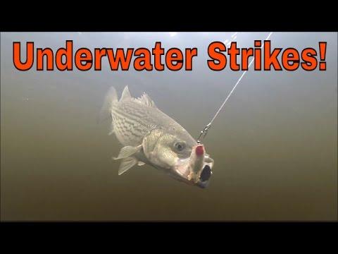 Striped Bass Fishing Miramichi New Brunswick-Underwater Strikes!