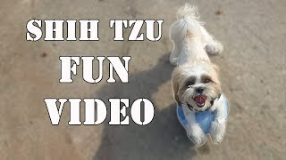 Shih tzu singing | Shih tzu funny | Shih tzu playing with ball / fetch