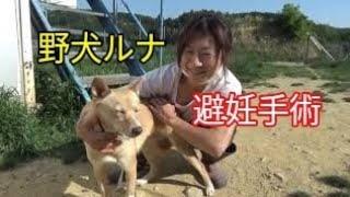 野犬ルナちゃん、もうすぐ譲渡! 避妊手術と血液検査して来ました。 #野...