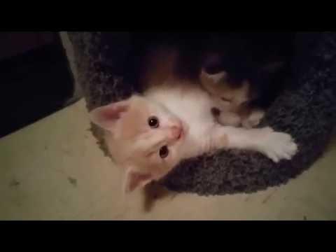 Five week old kittens playing