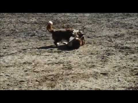 Border Collie races Australian Shepherd: Winner is?