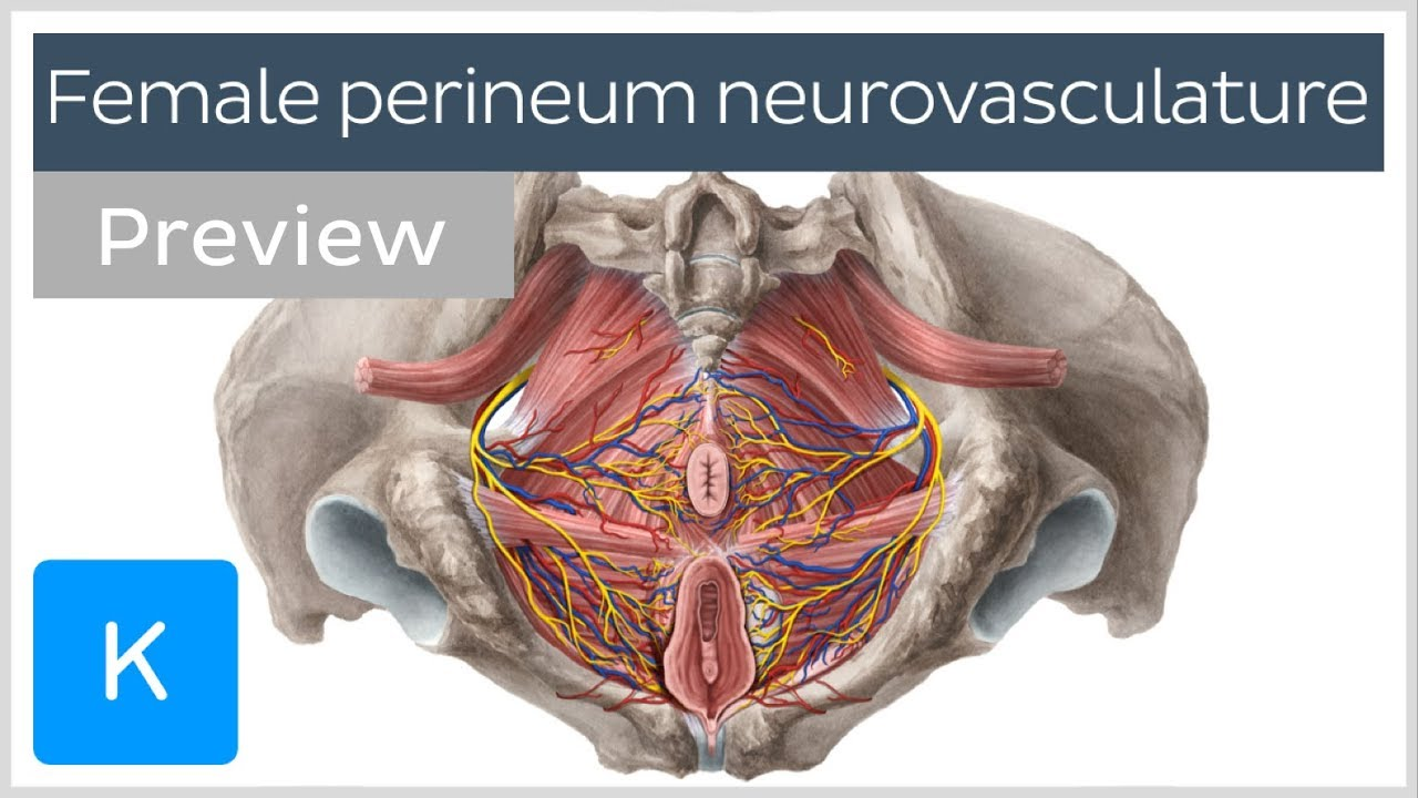 medium resolution of nerves arteries and veins of the female perineum preview human anatomy kenhub