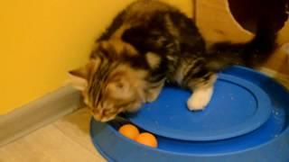 Питомник сибирских кошек Spark Heart