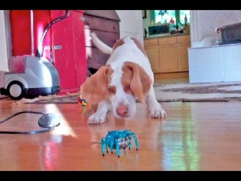Puppy vs. Robot Crab:  Cute Dog Maymo
