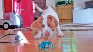 Puppy vs. Robot Crab:  Cute Dog Maymo