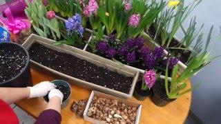 Выгонка весенних цветов  зимой