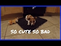 Bad Puppy - Life With A New Jack Russell