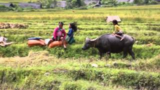 Buffalo & children rice harvest Vietnam