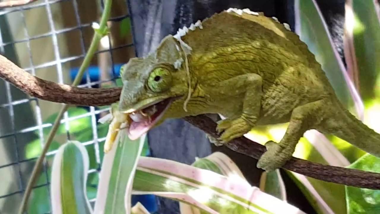 My Jackson U0026 39 S Chameleons In Custom Made Outside Aviary