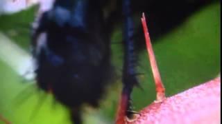 Венерина мухоловка(Лепестки венериной мухоловки закрываются, едва их коснется муха. Видео: Максим Войтенко., 2016-03-11T17:00:15.000Z)