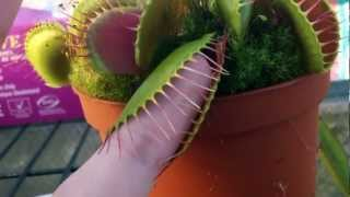 Large venus flytrap chews on finger??